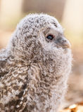 Hibou d'Ural Photos stock