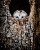 Hibou d'Ural caché dans un trou d'arbre regardant curieusement image stock
