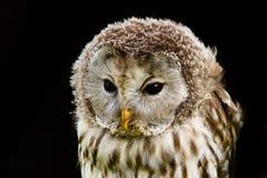 Hibou d'Ural de verticale, uralensis de Strix, un nightbird Photos libres de droits