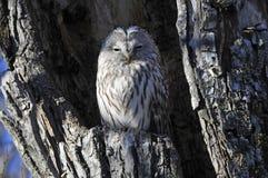 Hibou d'Ural, Oeraluil, uralensis de Strix images stock
