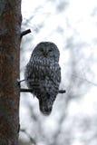 Hibou d'Ural sur l'arbre photos libres de droits