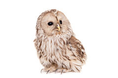 Hibou d'Ural sur le fond blanc Photo stock
