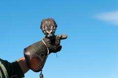 Hibou dans Cornouailles Image libre de droits