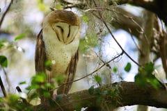 Hibou dans l'arbre Photo stock