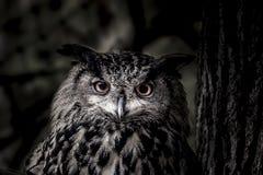 Hibou dans l'obscurité Photographie stock libre de droits