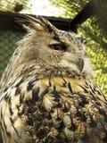 Hibou dans la cage Photo libre de droits
