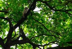 Hibou dans la forêt Photo stock