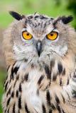 Hibou de chéri regardant fixement dans l'appareil-photo Photographie stock libre de droits