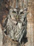 Hibou de cri strident gris dans l'arbre Photographie stock libre de droits