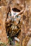 Hibou de cri strident oriental rouge Image libre de droits