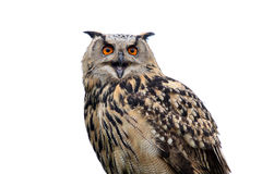 hibou de faucon Images stock
