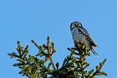 Hibou de faucon du nord (ulula de Surnia), avec sa saisie Photographie stock