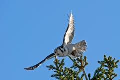 Hibou de faucon du nord (ulula de Surnia), volant avec sa saisie Images stock