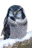 Hibou de faucon nordique photo libre de droits