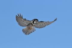 Hibou de faucon nordique Image libre de droits