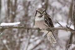 Hibou de faucon /Surnia ulula/ Photographie stock libre de droits