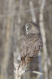 Hibou de grand gris Photo libre de droits