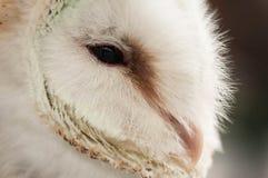 Hibou de grange Photo libre de droits