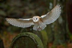 Hibou de grange avec les ailes intéressantes débarquant sur la pierre tombale photo libre de droits