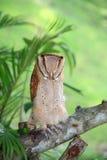 Hibou de grange dormant sur l'arbre photo libre de droits