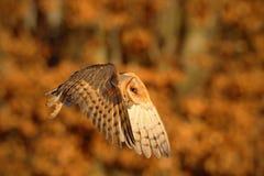 Hibou de grange gentil volant d'oiseau en égalisant la lumière orange gentille, forêt brouillée d'automne à l'arrière-plan Photo stock