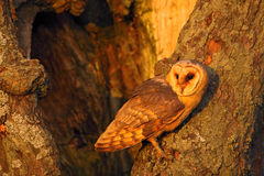 Hibou de grange se reposant sur le tronc d'arbre à la soirée avec la lumière gentille près du trou de nid, oiseau dans l'habitat  Images libres de droits