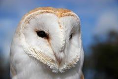 Hibou de grange (Tyto alba) Photos stock