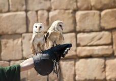 Hibou de grange (Tyto alba) Images libres de droits