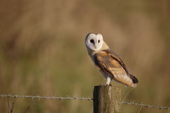 Hibou de grange, Tyto alba Photo stock