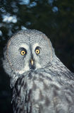 Hibou de gris grand Photographie stock libre de droits