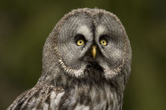 Hibou de gris grand photo stock