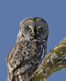 Hibou de gris grand Image stock