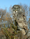 Hibou de gris grand dans un arbre Images stock