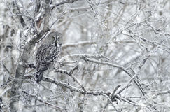 Hibou de gris grand en hiver Photo stock