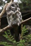 Hibou de gris grand (nebulosa de Strix) Images libres de droits