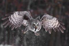 Hibou de gris grand ou lat de hibou de la Laponie. Nebulosa de Strix Photographie stock libre de droits