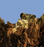 Hibou de mère et de chéri - 2 Photos stock