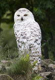 Hibou de Milou photo stock