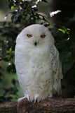 Hibou de neige Photo libre de droits