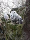 Hibou de neige photos libres de droits