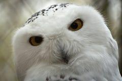 Hibou de neige de plan rapproché avec le grand oeil Photographie stock