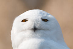 Hibou de neige en portrait photo stock