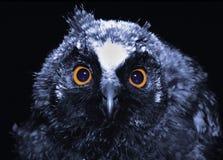 Hibou de nuit Photos stock