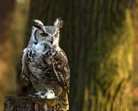 Hibou de regarder photos stock