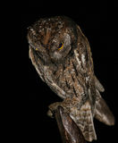 Hibou de Scops Photos stock