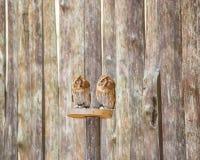 Hibou de scops-scops d'Otus Photographie stock libre de droits