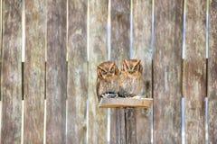 Hibou de scops-scops d'Otus Photos libres de droits
