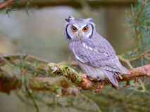 Hibou de scops fait face blanc Photos libres de droits