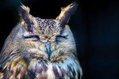 Hibou de sommeil Images stock