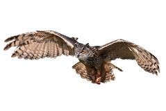 Hibou de vol Photos libres de droits